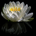 Reflected Lily  by Philip Clift