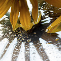 Reflected Yellow Petals by Michelle Himes