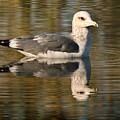 Young Gull Reflections by Norman Andrus