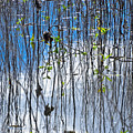 Reflecting Reeds by Carolyn Marshall