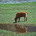 Reflection Buffalo Calf by Greg Payne