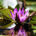 Reflection In Fuchsia by Suzanne Gaff