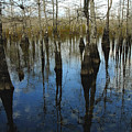 Reflections At Big Cypress by David Lee Thompson