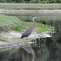 Reflections Of A Blue Heron by John Black
