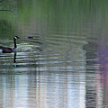 Reflections Of A Canada Goose by Karen Adams