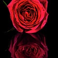 Reflections Of A Red Rose by David Saunders