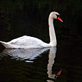 Reflections Of A Swimming Swan by Clayton Bruster