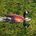 Reflections - Swimming Goose 003 by George Bostian
