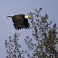 Regal Eagle by Everet Regal
