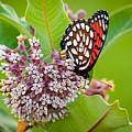 Regal Fritillary On Milkweed Plant by Jeff Phillippi