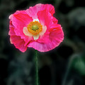 Regal Looking Poppy. by Usha Peddamatham