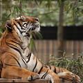 Regal Tiger by Jim Allsopp