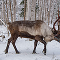 Reindeer  by Erika Fawcett