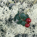 Reindeer Lichen And Low-bush Cranberry by Rich Reid