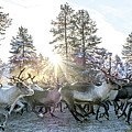 Reindeer On Autumn Sun by Markus Kiili