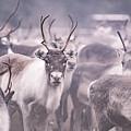 Reindeers by Markus Kiili