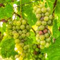 Riesling Harvest II by Michele Steffey