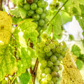 Riesling Harvest IIi by Michele Steffey