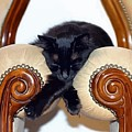 Relaxed Black Cat Sleeping Between Two Chairs by Tracey Harrington-Simpson