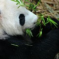 Relaxed Panda Bear Eats With Green Leaves In Mouth by Imran Ahmed