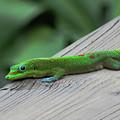 Relaxing Gecko by Pamela Walton