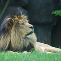 Relaxing Lion With A Thick Black Fur Mane by DejaVu Designs