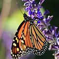 Relaxing Monarch Butterfly by Paul Ranky