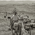 Reno Cattle Drive 22 Bw by Rick Mosher