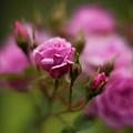 Resplendent Roses by Mike Reid