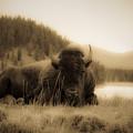 Resting Bison by Patrick  Flynn
