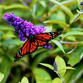 Resting Butterfly 2 by Drew Werner