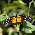 Resting Butterfly by Sven Brogren