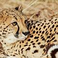 Resting Cheetah, Close-up  by Nick Biemans