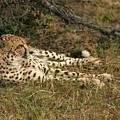 Resting Cheetah by Karen Zuk Rosenblatt