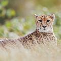 Resting Cheetah by Nick Biemans