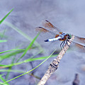 Resting Dragonfly by Kay Lovingood