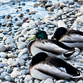 Resting Ducks by Ananta Patel