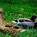Resting Ducks by Mariola Bitner