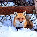 Resting Fox by Bob Cuthbert
