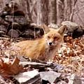 Resting Fox by Randy Ricketts