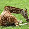Resting Giraffe by Laurel Powell