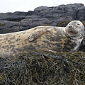 Resting Gray Seal On Seaweed by DejaVu Designs