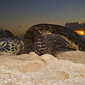 Resting Green Sea Turtle by Dave Fleetham - Printscapes