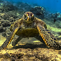 Resting Honu by Quintan White