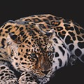 Resting Leopard  by Susana Falconi