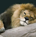 Resting Lion by Sharon Foster