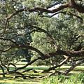 Resting Live Oaks by Carol Groenen