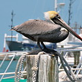 Resting Pelican by Jerry Frishman