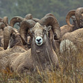 Resting Rams by James Anderson
