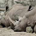 Resting Rhinos by Norman Saagman